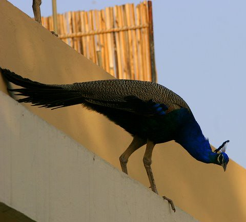 Will the peacock jump or fly? 7