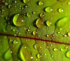 Drops (rebranca46(a riposo)) Tags: red macro water drops fv10 acqua gocce naturesfinest splendiferous impressedbeauty wowiekazowie diamondclassphotographer flickrdiamond mattsfirstblogphotoofthedaywinner