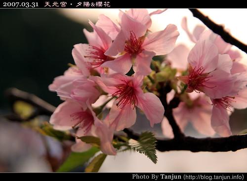 天元宮‧夕陽&櫻花