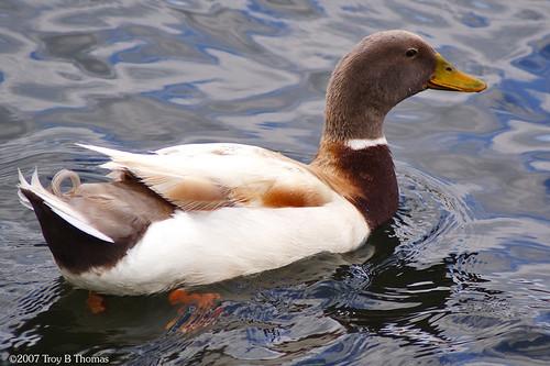 Duck02_20070329
