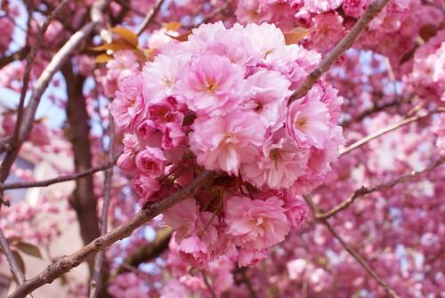 أشجار الساكورا 457971638_6307717edc