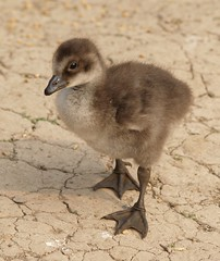 GOSLING (JAMES HALLROBINSON) Tags: england jr gosling waterfowl slimbridge p1f1 5for2