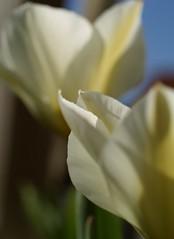 Whites in the Garden (Kirsten M Lentoft) Tags: white flower macro garden tulips impressedbeauty momse2600 kirstenmlentoft