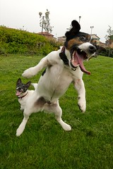 Yeeeaaaaagh!  Jack Russell Madness. Jumping Jacks. aka Crazy Jacks. (stuart100) Tags: tongue crazy jump milo teeth attack terrier jackrussell pip catch loopy mad leap loon flyingdog abigfave anawesomeshot dogexpressionsfave lmaoanimalphotoaward jumpingjackrussell