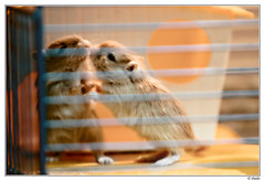 Kiss me, Kiss me a lot... (Piulet) Tags: love gerbil kiss amor explore beso gerbils jerbo pet piulet