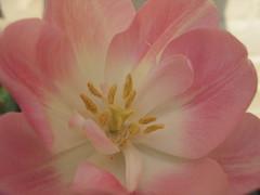 Pink tulip close-up 1 (Hannie's) Tags: pink flowers garden spring tulips tuin lente bloemen tulpen roze hanny hannies spring07 123nllente theobligatoryflowerpicture