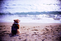 wavelets (moaan) Tags: ocean leica dog beach 50mm corgi friend dof bokeh f10 ripples noctilux meditation kota lostinthought leicam7 2007 m7 tranquillity kodakektachrome64 leicanoctilux50mmf10 gettyimagesjapanq1 gettyimagesjapanq2