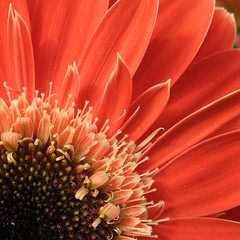 Just a Flower (ToniVC) Tags: orange flower macro colors beauty closeup canon spring bravo quality powershot excellence naturesfinest supershot magicdonkey a640 aplusphoto goldenphotographer flickrphotoaward tonivc