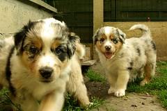 SG103819 (Kyran2005) Tags: puppy puppies australien aussie australianshepherd berger tulicaine