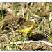 motacilla flava - lavandera boyera 02 - cuereta groga -yellow wagtail