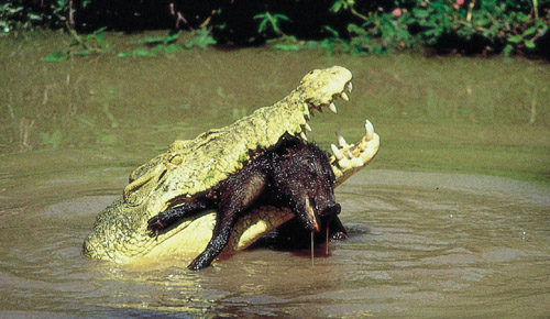 Saltwater crocodile vs tiger - photo#5