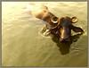 buffalo 4 (Sukanto Debnath) Tags: india animal buffalo village horns hyderabad jesters andhrapradesh debnath colorphotoaward sukanto