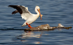 American White Pelican Breeding Plumage (Fort Photo) Tags: bird nature birds animal spring bravo colorado searchthebest quality weld wildlife birding pelican ave breeding co windsor ornithology soe avian 2007 americanwhitepelican pelecanidae pelecaniformes naturesfinest pelecanuserythrorhynchos parkstock supershot 50faves featheryfriday outstandingshots impressedbeauty firsttheearth goldenphotographer avianexcellence nuptialtubercle 50fav123