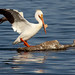 American White Pelican Breeding Plumage - by Fort Photo