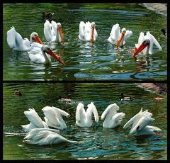 Social Behavior (Vesuviano - Nicola De Pisapia) Tags: bird pelicans birds feeding group hunting social pelican uccelli behavior socialbehavior behaviour naturesfinest sociale blueribbonwinner pellicano pellicani comportamento 25faves socialbehaviour abigfave vesuviano impressedbeauty superbmasterpiece wowiekazowie