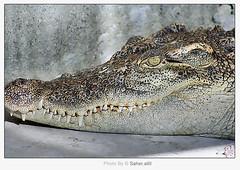 Crocodile // ,, (Nasser Bouhadoud) Tags: park trip animal canon thailand 350d dangerous looking 2006 crocodile pure pattaya saher qatari ناصر allil بوحدود