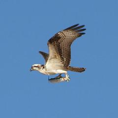 Osprey at Shell Beach, California near 101 freeway (jcldigitalstudio.com) Tags: california fish bird beach canon lens eos 350d coast is hunting catch prey usm rebelxt pismo 28135 28135mm osprey shellbeach