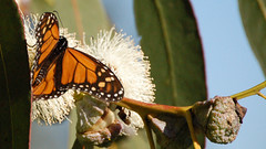 1c. Monarchs and Eucalyptus Trees