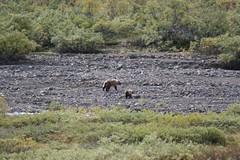 Denali National Park, Alaska (marco.giazzi) Tags: canada alaska columbia yukon anchorage british denali valdez freddo fjords barrow klondike orsi oceano artico ghiacciai