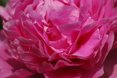 Paeonia lactiflora 'Sarah Bernhard' - Pioenroos