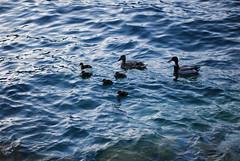 Duck Family (se_kwien) Tags: street italien vacation italy by photography italia martin claudia malcesine lakegarda lagodigarda gardasee a claudiamartin nikond80 height48