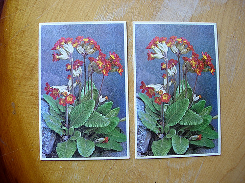 two.primroses