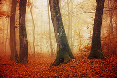 If These Trees Could Talk LX. (Zsolt Zsigmond) Tags: forest trees woods autumn fall fog mist outdoor leaves foliage landscape nature outdoors