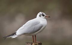 Black-headed-Gull-1559 (Kulama) Tags: blackheadedgull gull birds nature wildlife water sea winter canon7dmarkii sigma150600563c animals