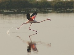 Flamingo take off (jvverde) Tags: flamingo marinhadatroncalhada aveiro portugal isawyoufirst phoenicopterusruber geo:lat=40641507 geo:lon=8664447 geotagged animalkingdomelite specanimal greaterflamingo impressedbeauty avesemportugal birdsinportugal ave aves birds bird 123birds pájaro pássaro vogel oiseau uccelloaves pássaros emliberdade onwild nanatureza wildlife lintu طَائِر madár পাখি ქართული ფრინველები թռչուններ ܛܝܪܐ பறவை สัตว์ปีก 鳥 پنچھی پرندہ 조류 ນົກ adar burung burungburung chim éin fåglar fuglar fugle fugler għasafar hegaztiak izinyoni kuşlar langgam linnud linonyana lintuja madarak manu manuk mbalame mga ibon ndege