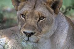 Lioness (Arno Meintjes Wildlife) Tags: africa wallpaper nature southafrica bush wildlife lion safari bigcat predator rsa carnivore pantheraleo specanimal genuspanthera impressedbeauty animaladdict arnomeintjes
