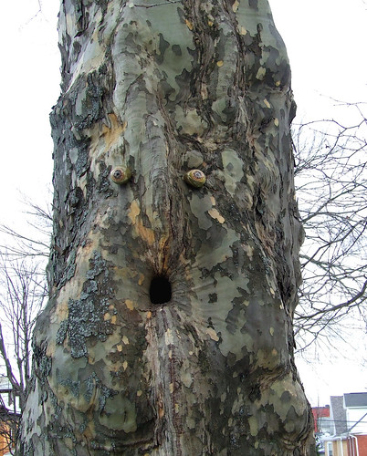 sycamore face