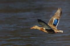 Great Day To Be Flying (ozoni11) Tags: lake bird nature birds animal animals geese duck nikon lakes ducks goose mallard d200 drake waterfowl ornithology columbiamaryland featheryfriday animaladdiction
