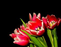 Tulip - power (karin_b1966) Tags: plant flower tulips blossoms pflanze trophy blume tulpen blten onblack colorsoftheworld flowerphotography beautyofnature flickrflowrpowr theworldthroughmyeyes thebeautyinlife flickrnature flowersonblack aufschwarz