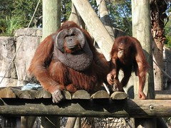 Rango and another orangutan
