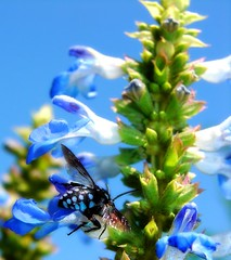Blues (aussiegall) Tags: blue sky macro bravo bee salvia aphotoaday project365 instantfav mywinners abigfave abigfav bogsage anawesomeshot cloakanddaggercuckoobee impressedbeauty