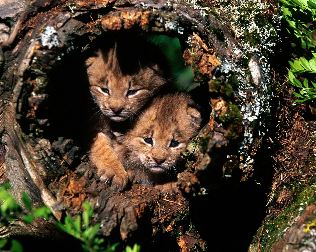lions and kittens dating Scientists are celebrating the rare discovery, but they're not certain on one major point — whether the mummy is a cave lion cub or a lynx kitten if the mummy is a cave lion, we believe that this find dates to the late pleistocene, considering the fact that the cave lions went extinct together with the woolly.