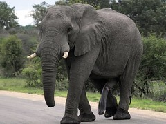 """Big"" Elephant (Arno Meintjes Wildlife) Tags: africa mammal italian elephant i500 interestingness77 colorphotoaward wildlife safari africanelephant elephants loxodontaafricana ivory southafrica rsa nature bush explore flickrunitedaward knp krugernationalpark krugerpark arnomeintjes wallpaper"