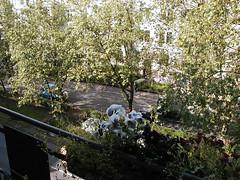 P5240003 (picsfrombkk) Tags: wiesbaden balkon blumen allee