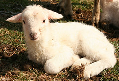 day old lamb