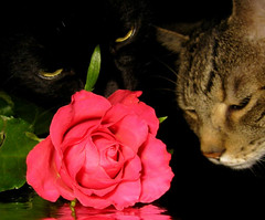 two flower sniffing  =^..^= cats (karin_b1966) Tags: cats plant flower animals rose tiere tyson blossom pflanze blume nuggets blte domesticanimals katzen dems haustiere boyswillbeboys standingovation animalportraits catphotos greatshots beautifulcats beautifullife beautifulworld stubentiger throphy catfaces views100 formycontacts theworldthroughmyeyes ourcatcompanions thebeautyinlife a1f1 123animals cc100 justmeandmycamera abigfave catsthebelovedpets photofans p1f1 kissablekat kissablekats funnyfelines impressedbeauty beautyofthenatureworld flowersniffingcats
