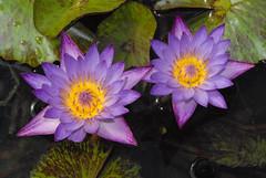 Water Lilies (Dave Schreier) Tags: chicago water arboretum lilies blueribbon abigfave colorphotoaward impressedbeauty aplusphoto