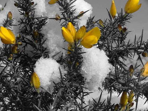snowy spring black white and yellow