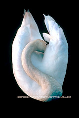 Mute Swan, Preening (Jeff Wignall) Tags: white birds neck swan preening muteswan wignall anawesomeshot