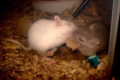 Tug of war (saph1re76) Tags: pet pets animal animals gerbil rodent zippy rodents marshmellow zip gerbils