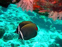 Pair of Red-tailed Butterflyfish, Thailand (_takau99) Tags: ocean trip travel sea vacation holiday fish uw nature water topv111 thailand island islands topv555 topv333 nikon marine asia southeastasia underwater indian indianocean topv444 dive scuba diving topv222 thai tropical coolpix scubadiving s1 nikoncoolpixs1 february phuket reef similan khaolak 2007 surin andaman andamansea butterflyfish similanislands nikoncoolpix coolpixs1 chaetodon febrary similanisland takau99 chaetodontidae redtailedbutterflyfish edive