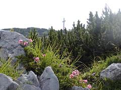 Close to summit (rudi_valtiner) Tags: mountains Österreich austria rocks cross blumen berge pines oberösterreich traunstein felsen gipfelkreuz upperaustria mountainflowers alpenrosen latschen almrausch
