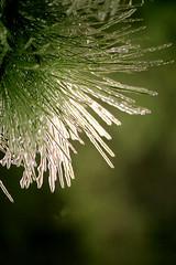 Ice Needles (MexiPickle) Tags: winter tree green ice pine bokeh needles icicles impressedbeauty