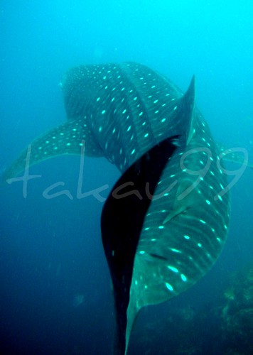 Whale Shark at Richelieu Rock, Thailand