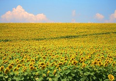 As far as the eye can see (horstgeorg) Tags: flowers yellow landscape day clear bulgaria sunflowers naturesfinest regionwide