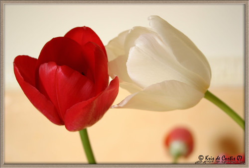 Tulips in Love ...